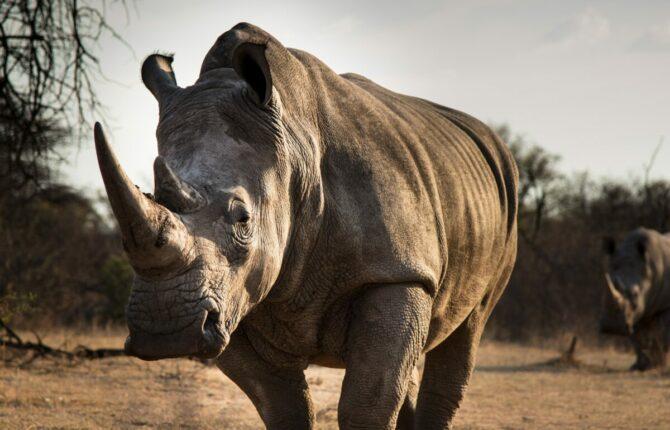 Nashorn Steckbrief - Gewicht, Horn, Geschwindigkeit