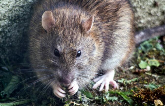 Ratten Steckbrief – Haltung, Aussehen, Arten