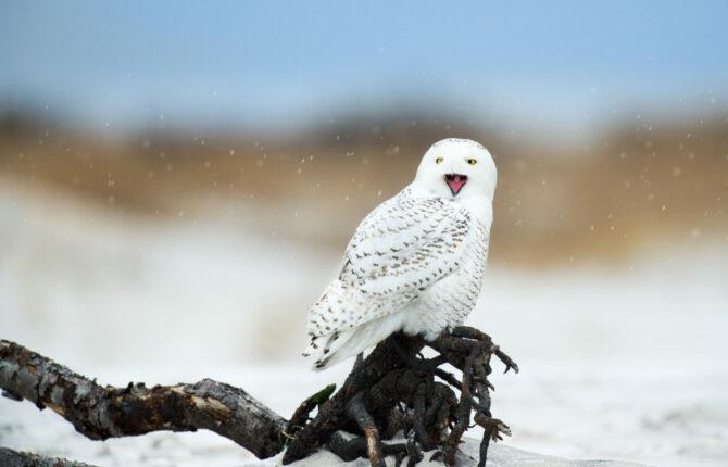 Schnee-Eule Steckbrief - Allgemein, Aussehen, Fortpflanzung