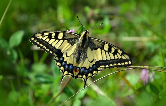 Der Schwalbenschwanz Steckbrief – Aussehen, Vorkommen, Raupen