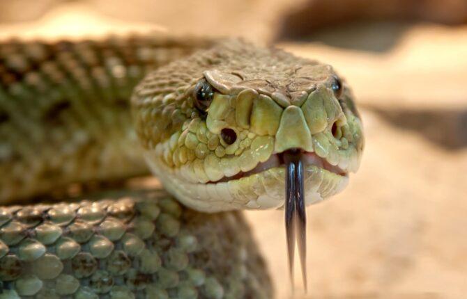 Viper Steckbrief - Allgemein, Aussehen, Schlangengift