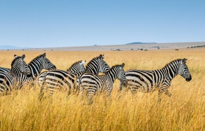 Zebra Steckbrief - Heimat, Ernährung, Eigenschaften