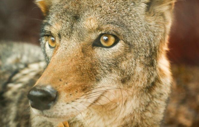 Kojote Steckbrief - Aussehen, Verfolgung
