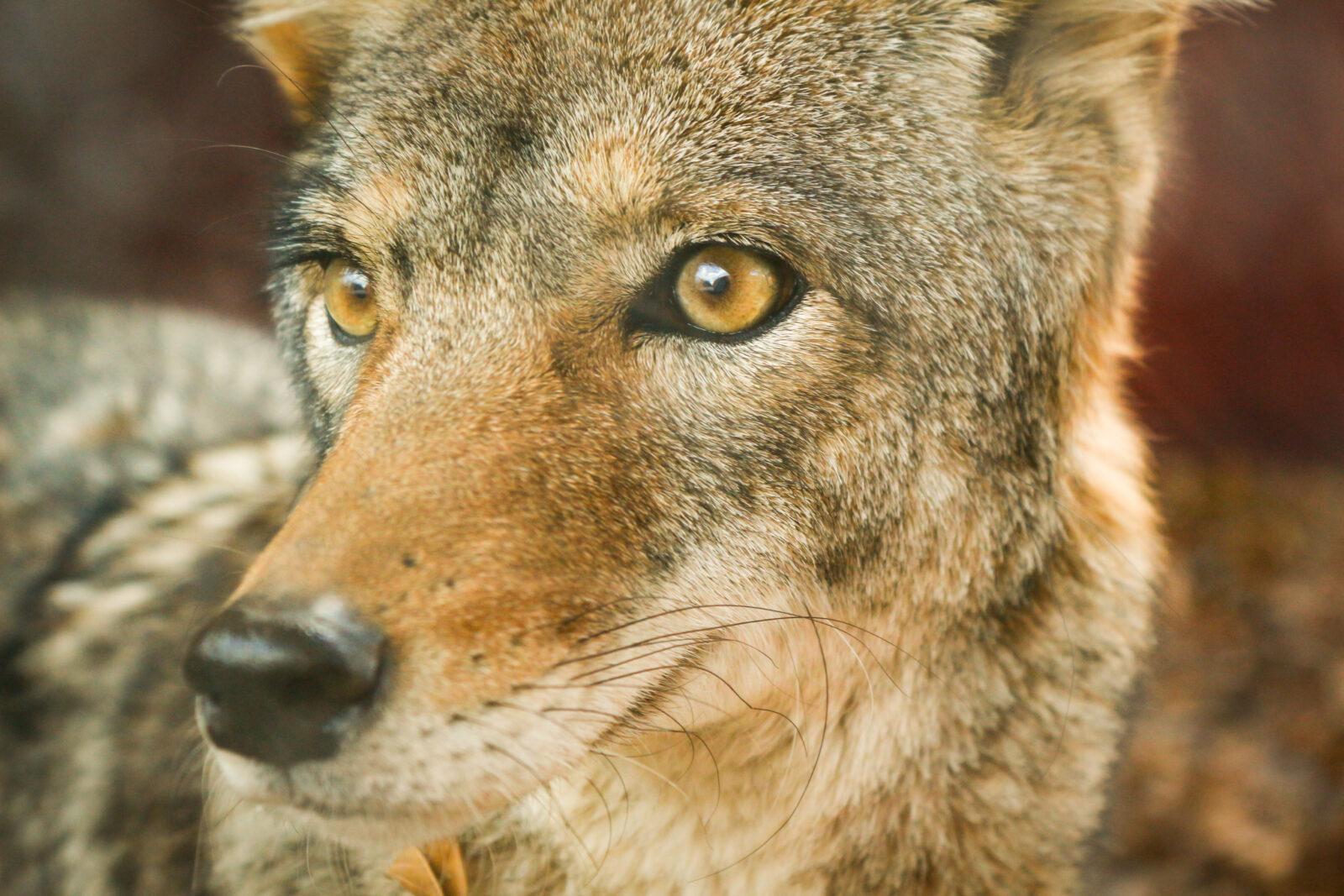Kojote Steckbrief – Aussehen, Verfolgung