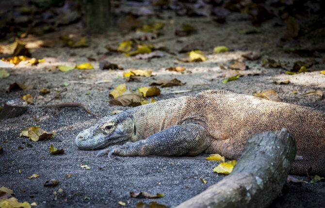 Komodowaran Steckbrief - Aussehen, Vorkommen, Gefangenschaft