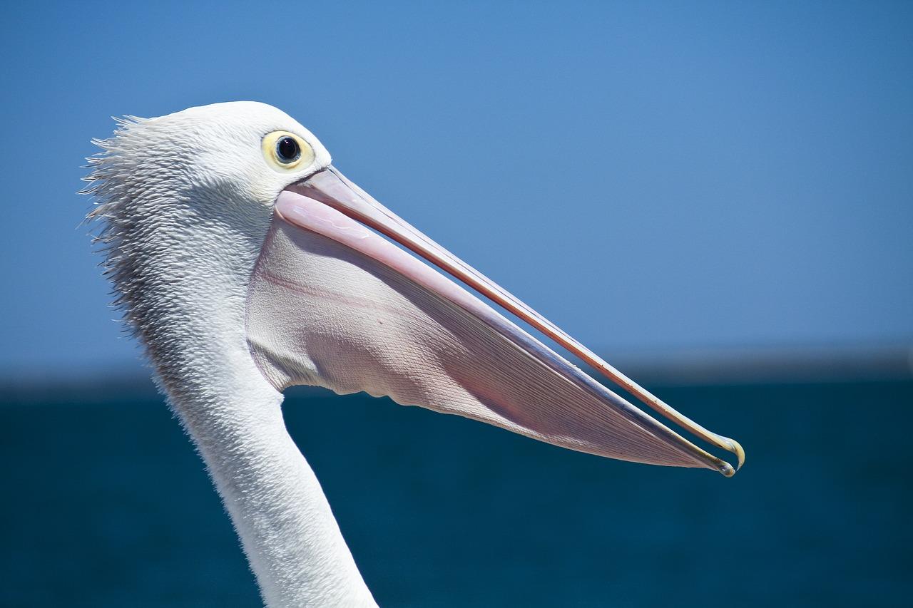 Pelikane Steckbrief – Gestalt, Sozialverhalten und Ernährung