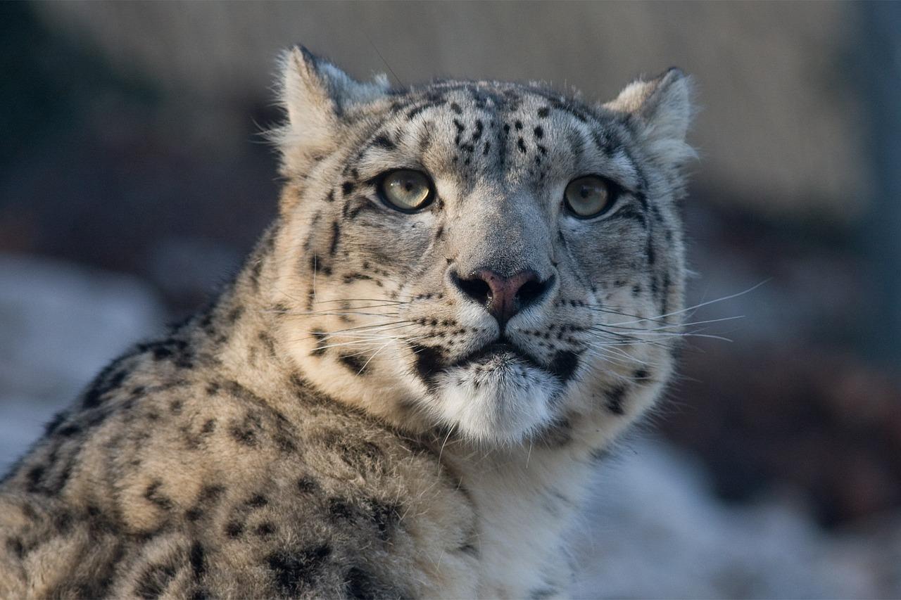 Schneeleopard Steckbrief – Vorkommen, Gefangenschaft