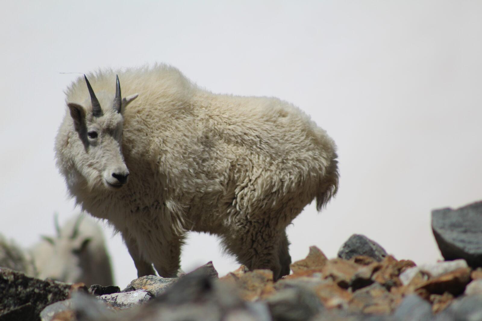 Schneeziege Steckbrief – Aussehen, Lebensraum, Nahrung