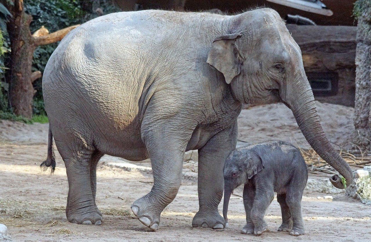 Asiatischer Elefant Steckbrief – Aussehen, Lebensweise, Fortpflanzung