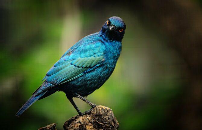 Glanzvögel Steckbrief - Aussehen, Fortpflanzung, Lebensweise