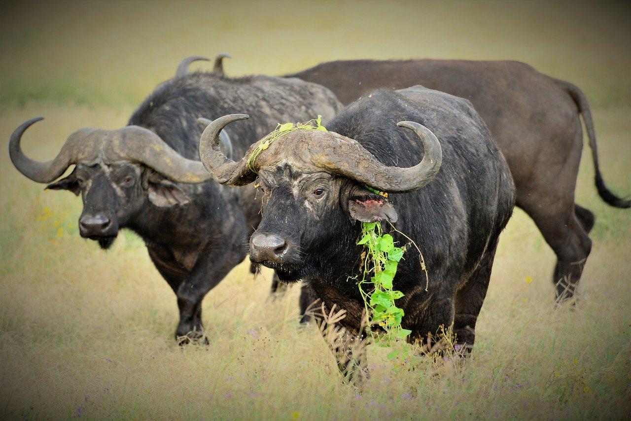Kaffernbüffel / Afrikanischer Büffel Steckbrief – Rassegliederung, Körperbau, Lebensweise, Lebensraum