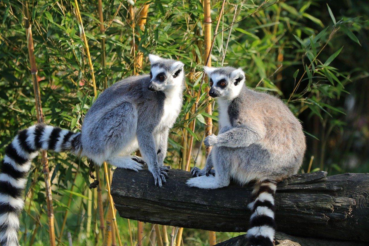 Lemuren Steckbrief – Lebensweise & Lebensraum, Nahrung