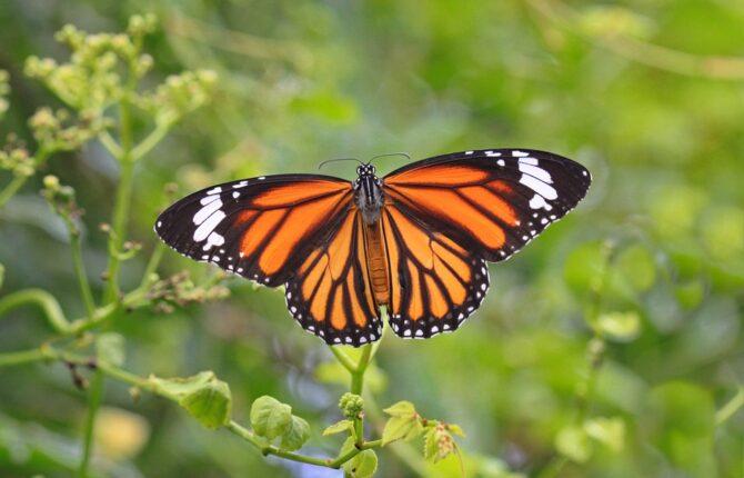 Monarchfalter Steckbrief - Danaiden, Aussehen, Wanderung