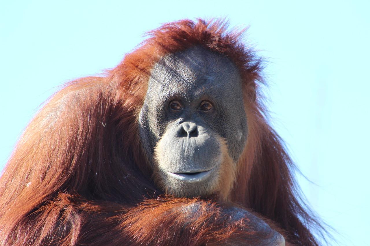 Orang-Utan Steckbrief – Verbreitung, Aussehen, Bestand