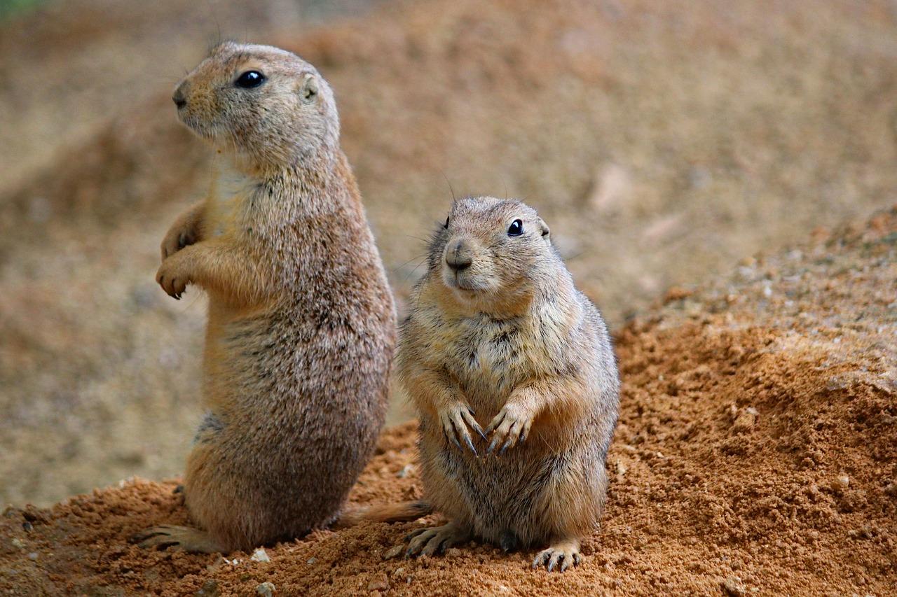 Präriehunde Steckbrief – Arten, Nahrung, Gefährdung