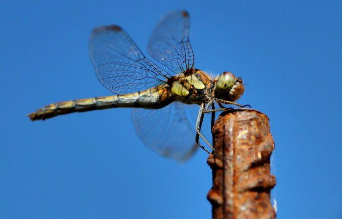 Großlibellen Steckbrief - Territorialverhalten, Libellenlarven, Arten der Großlibelle