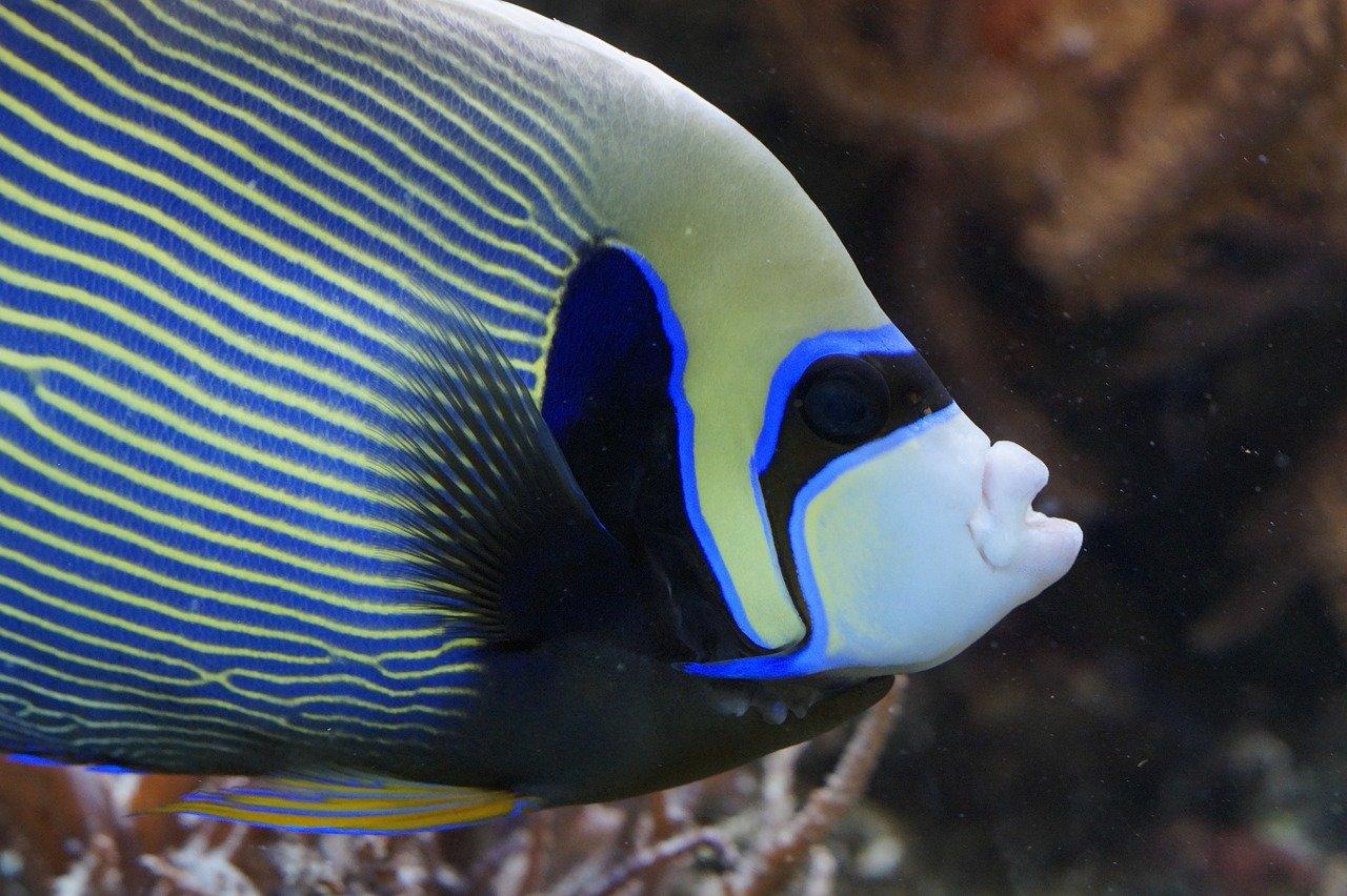 Kaiserfisch Steckbrief – Aussehen, Lebensweise, Arten