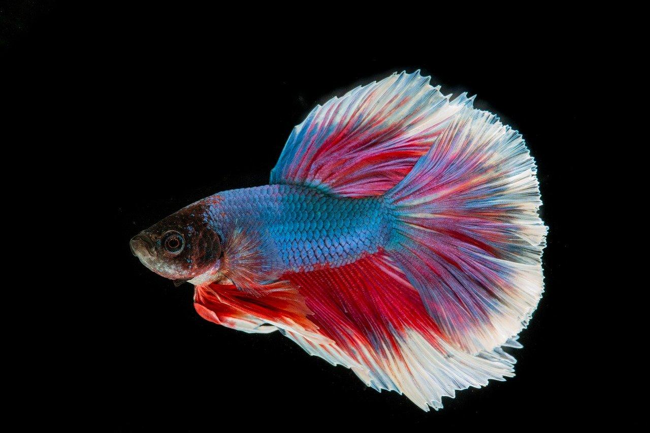 Kampffisch Steckbrief – Aussehen, Lebensweise, Fortpflanzung