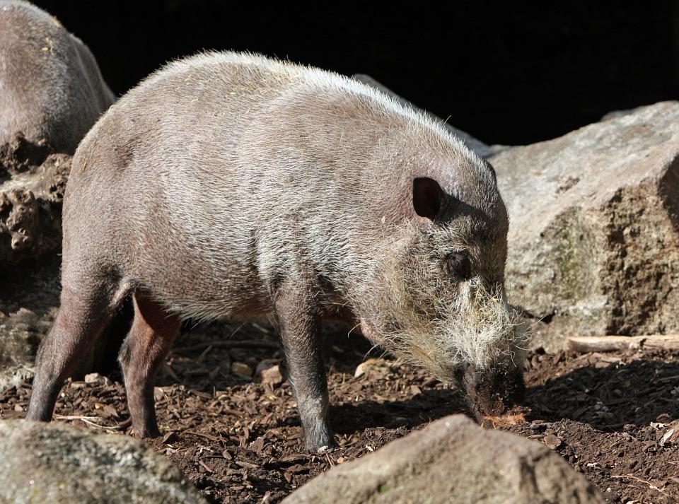 Bartschwein Steckbrief – Aussehen, Lebensraum, Lebensweise
