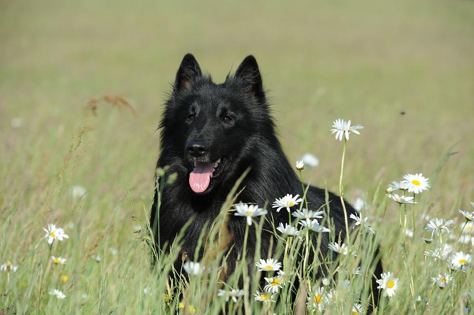 Belgischer Schäferhund, Groenendael Steckbrief – Aussehen, Haltung und Verhalten
