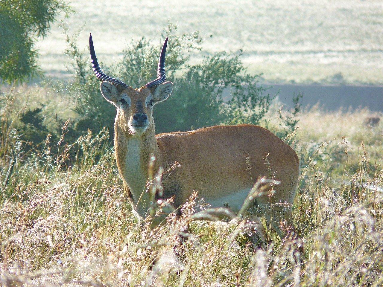 Moorantilope Steckbrief – Aussehen, Lebensraum & Lebensweise, Fortpflanzung, Feinde
