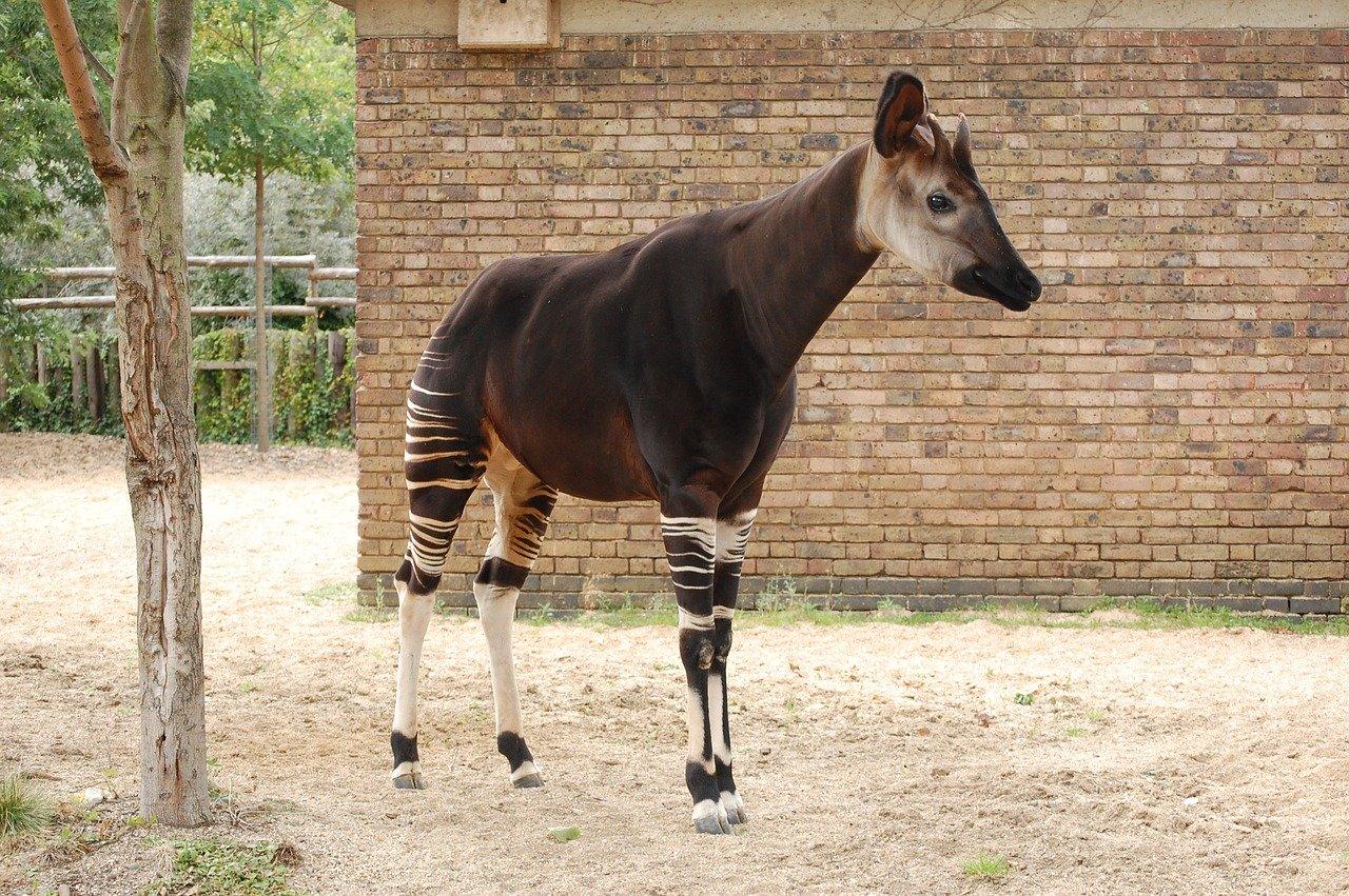 Okapi Steckbrief – Körperbau, Lebensraum & Lebensweise, Fortpflanzung