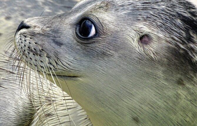 Seehund Steckbrief - Lebensraum, Fortpflanzung, Ernährung