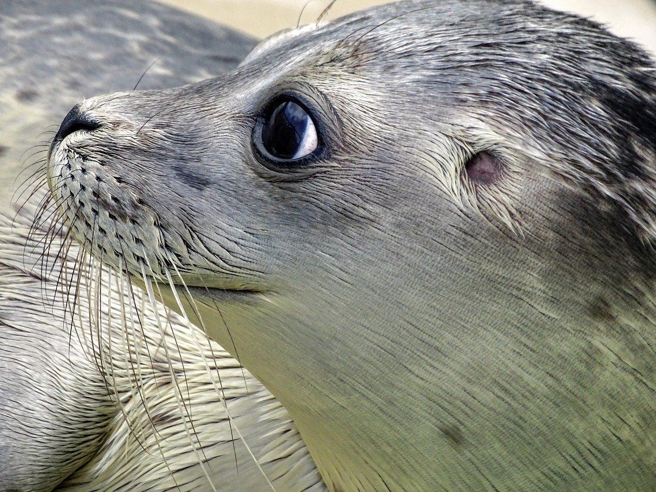 Seehund Steckbrief – Lebensraum, Fortpflanzung, Ernährung
