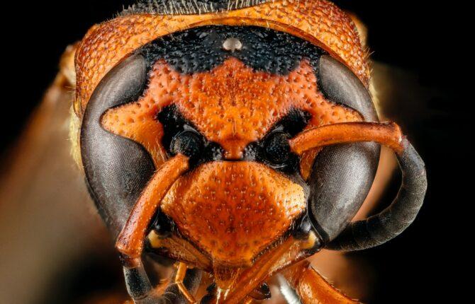 Asiatische Riesenhornisse / Murder Hornet Steckbrief - Aussehen, Ernährung, Lebensweise