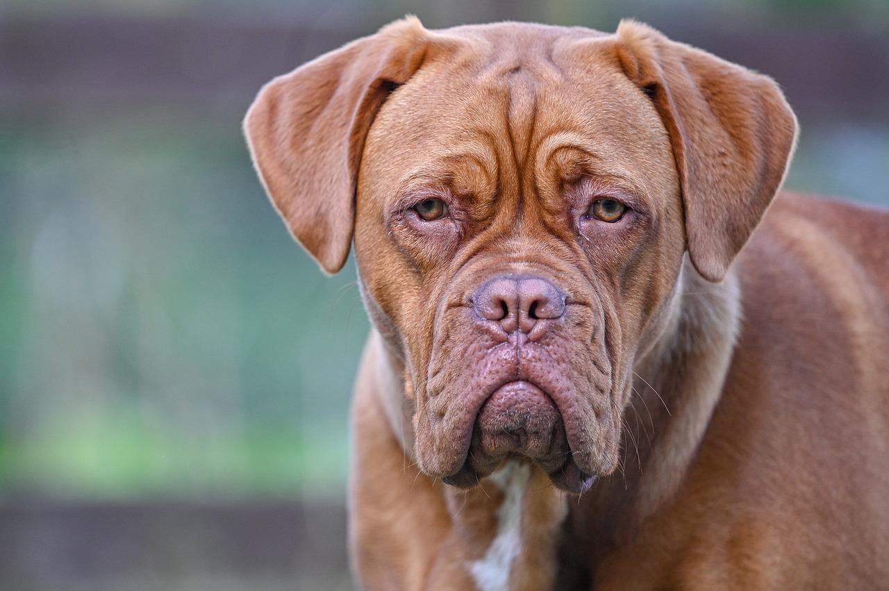 Bordeaux-Dogge Steckbrief – Aussehen, Verhalten und Haltung