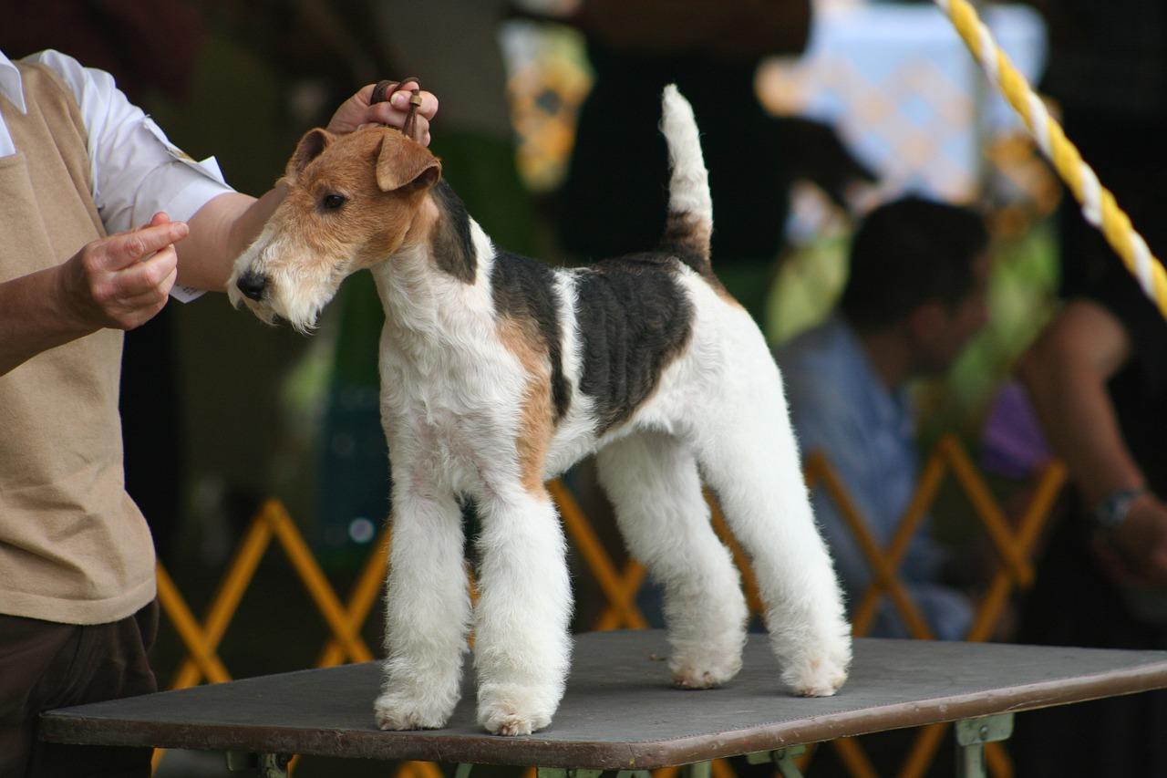 Foxterrier Steckbrief – Aussehen, Verhalten und Haltung