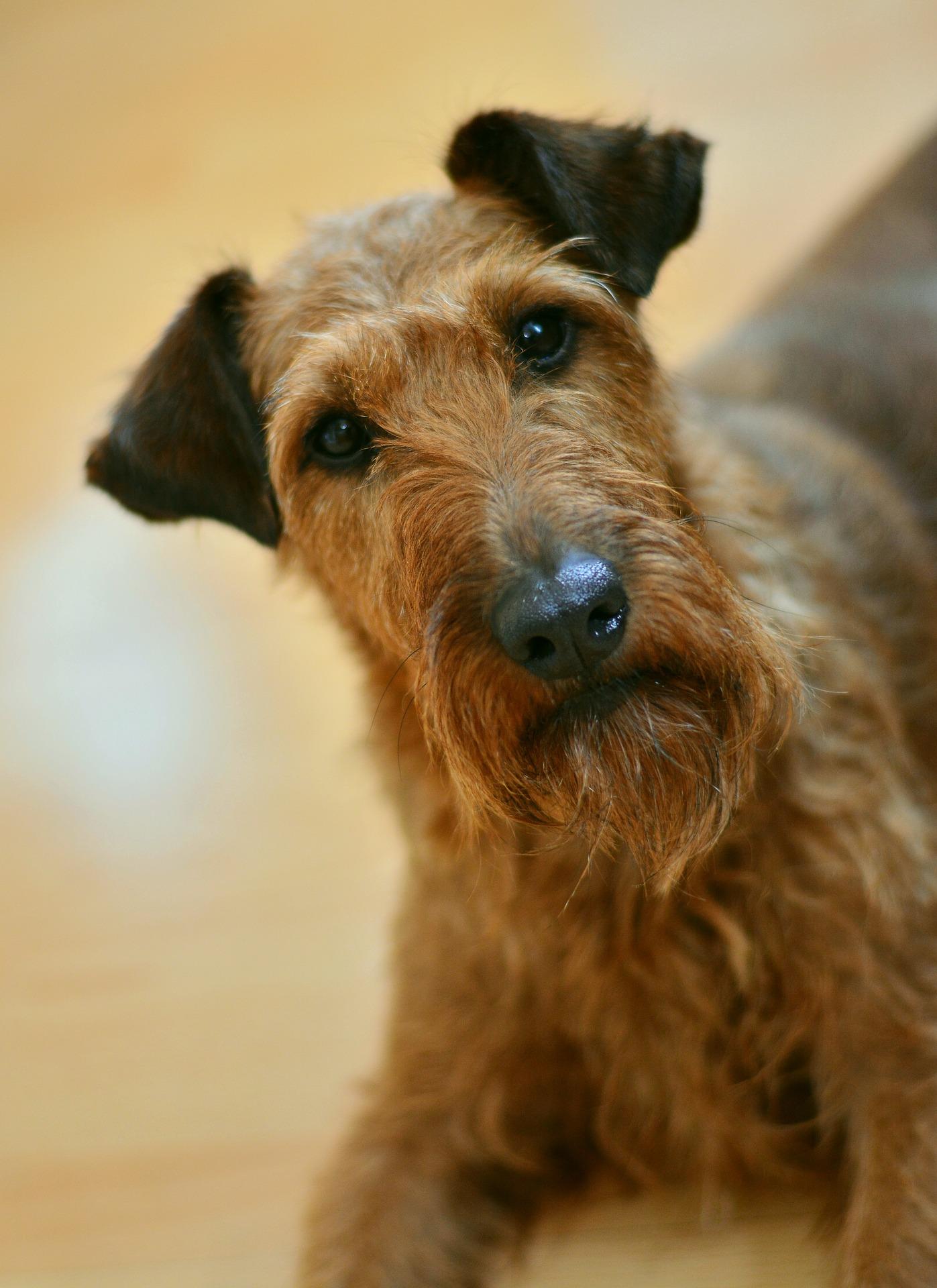 Irish-Terrier Steckbrief – Aussehen, Verhalten und Haltung