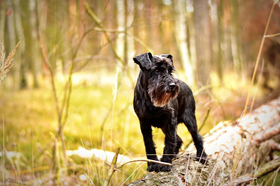 Zwergschnauzer Steckbrief – Aussehen, Verhalten und Haltung