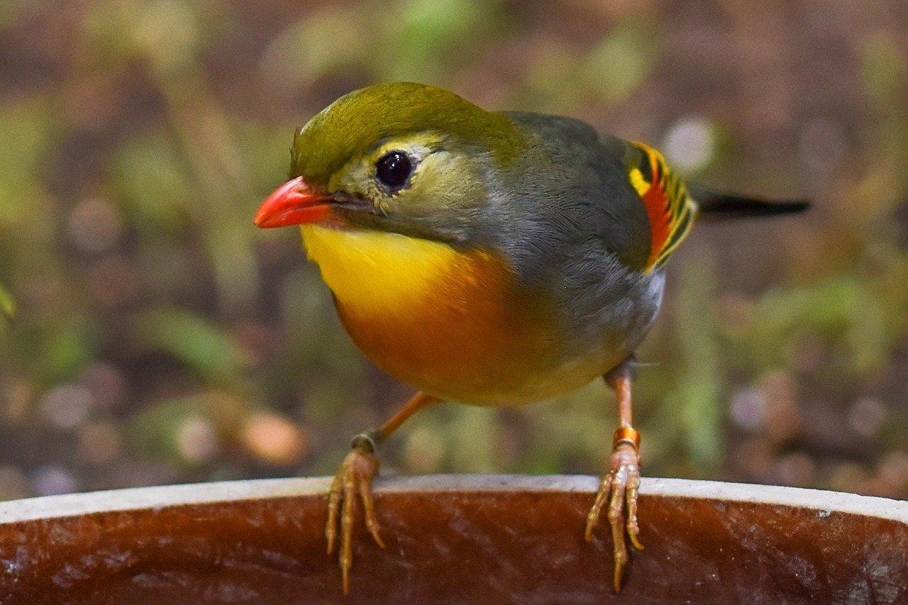 Sonnenvogel, Chinesiche Nachtigall Steckbrief – Aussehen, Lebensweise, Arten