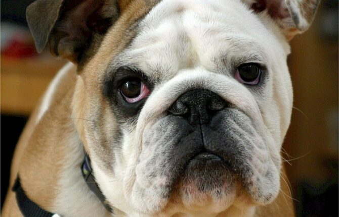 Englische Bulldogge Steckbrief - Aussehen, Verhalten und Haltung
