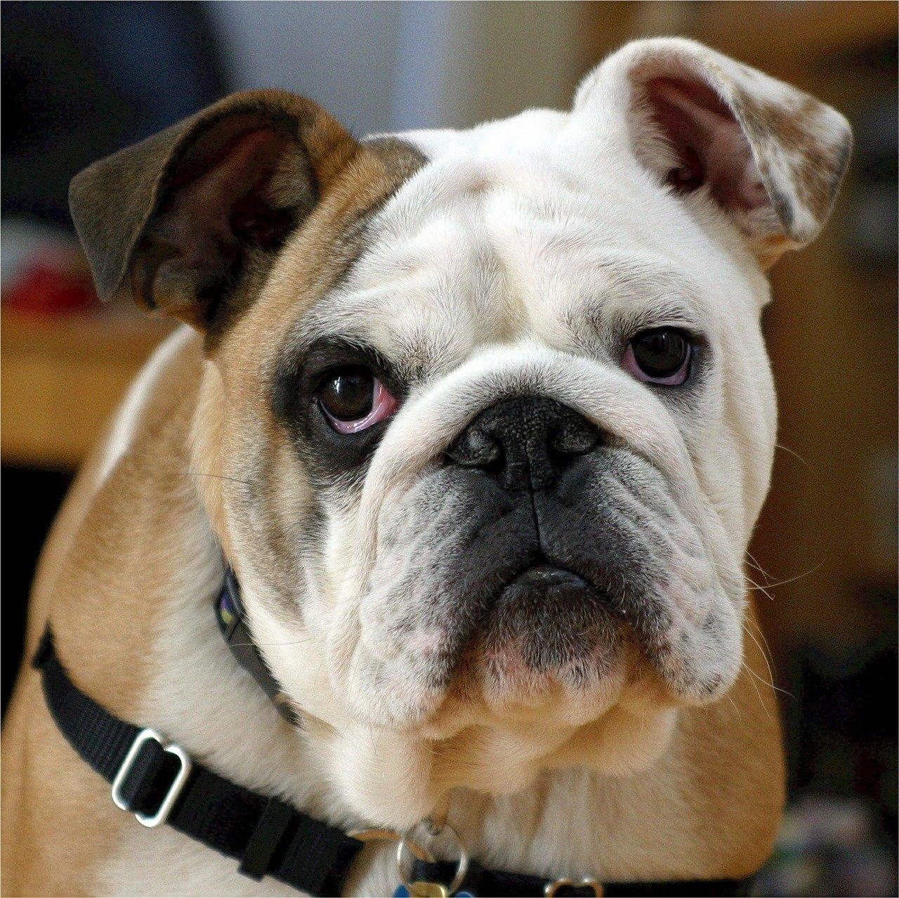 Englische Bulldogge Steckbrief – Aussehen, Verhalten und Haltung