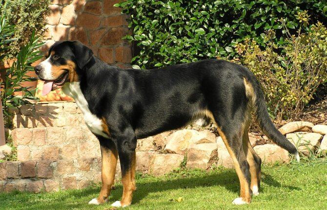 Großer Schweizer Sennenhund Steckbrief - Aussehen, Verhalten und Haltung