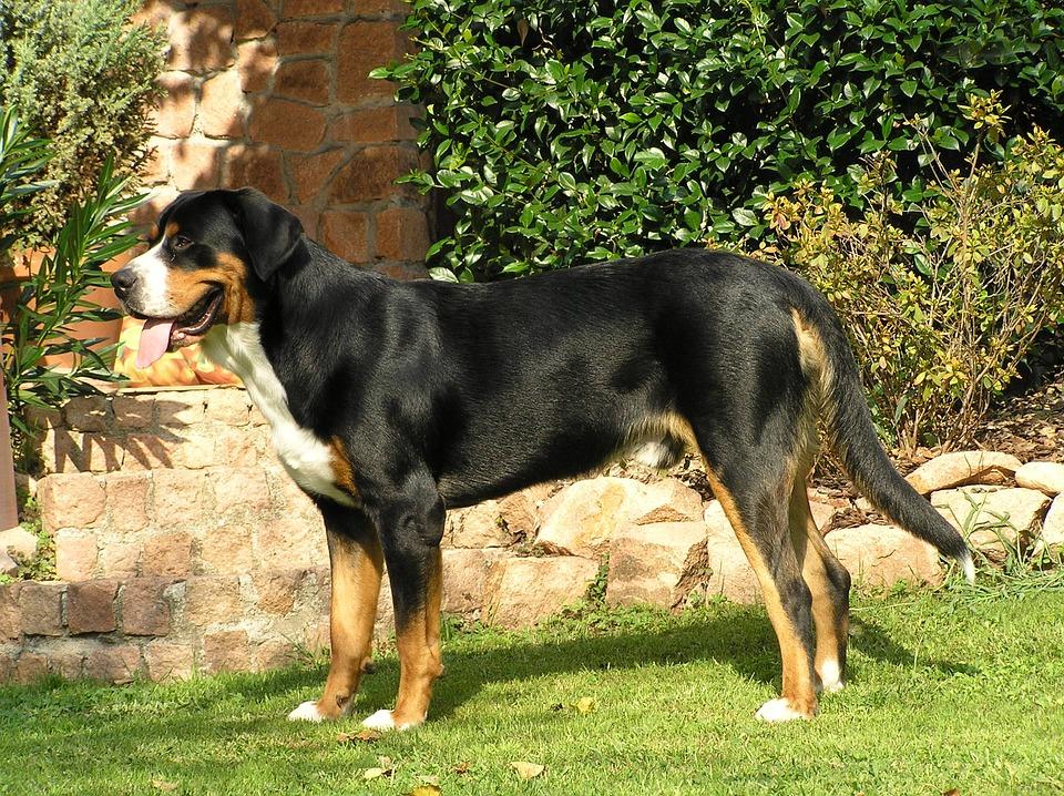 Großer Schweizer Sennenhund Steckbrief – Aussehen, Verhalten und Haltung
