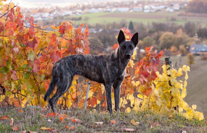 Holländischer Schäferhund Steckbrief - Aussehen, Verhalten und Haltung