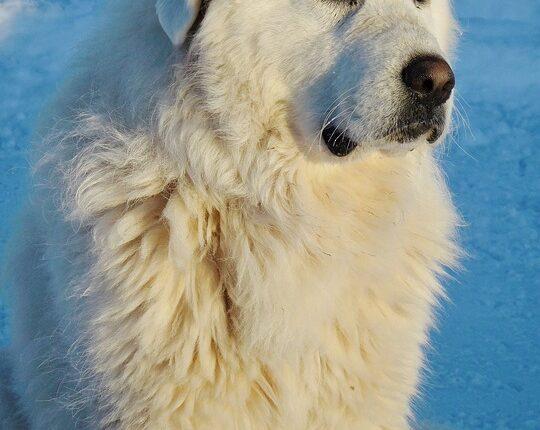 Pyrenäen-Hund Steckbrief - Aussehen, Verhalten und Haltung