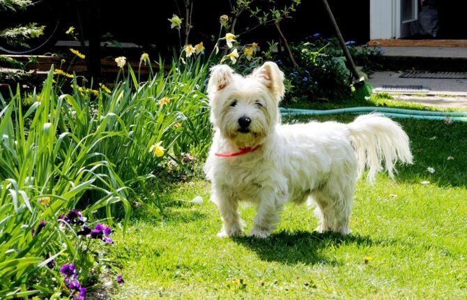 West-Highland-White-Terrier Steckbrief - Aussehen, Verhalten und Haltung