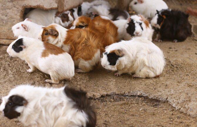 Hamster Steckbrief - Entstehung, Mermale, Verbreitung