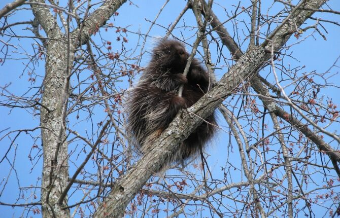 Urson (Baumstachelschwein) Steckbrief - Aussehen, Lebensweise, Stacheln