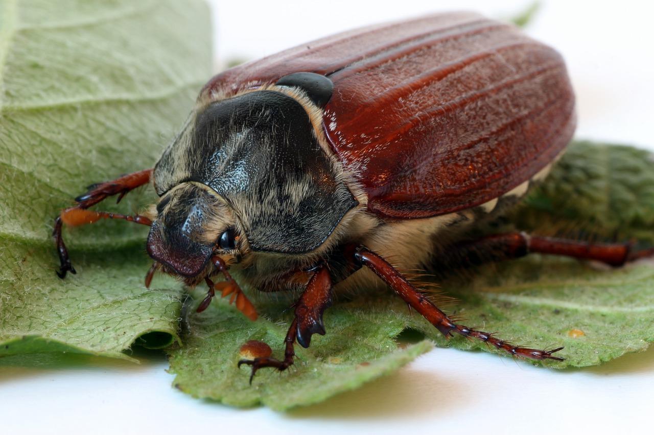 Blatthornkäfer Steckbrief – Aussehen, Merkmale, Arten
