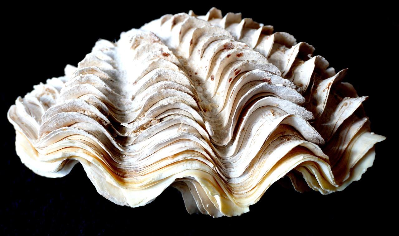 Riesenmuschel Steckbrief – Aussehen, Gefahr, Hufmuscheln