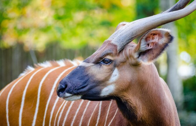 Bongo Steckbrief - Aussehen, Verbreitung, Lebensraum,