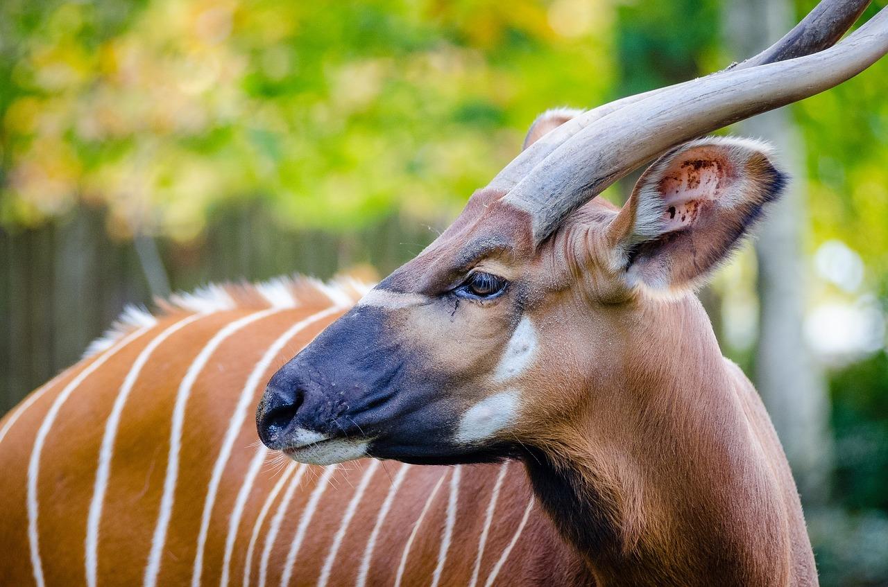 Bongo Steckbrief – Aussehen, Verbreitung, Lebensraum,