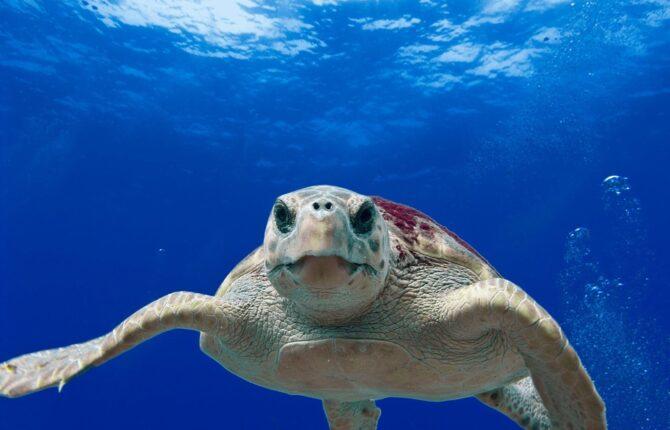 Seeschildkröten Steckbrief - Unechte und Echte Karettschildkröte, Bastardschildkröte