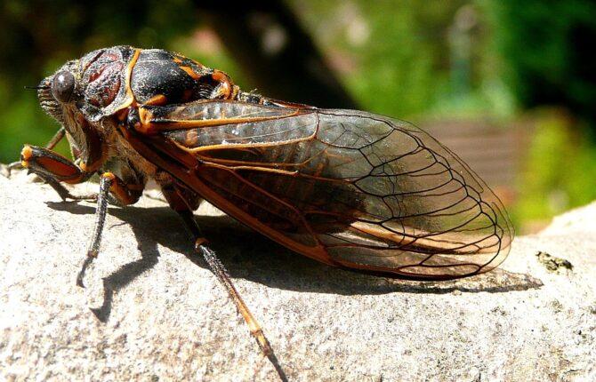 Zikaden Steckbrief - Ernährung, Merkmale