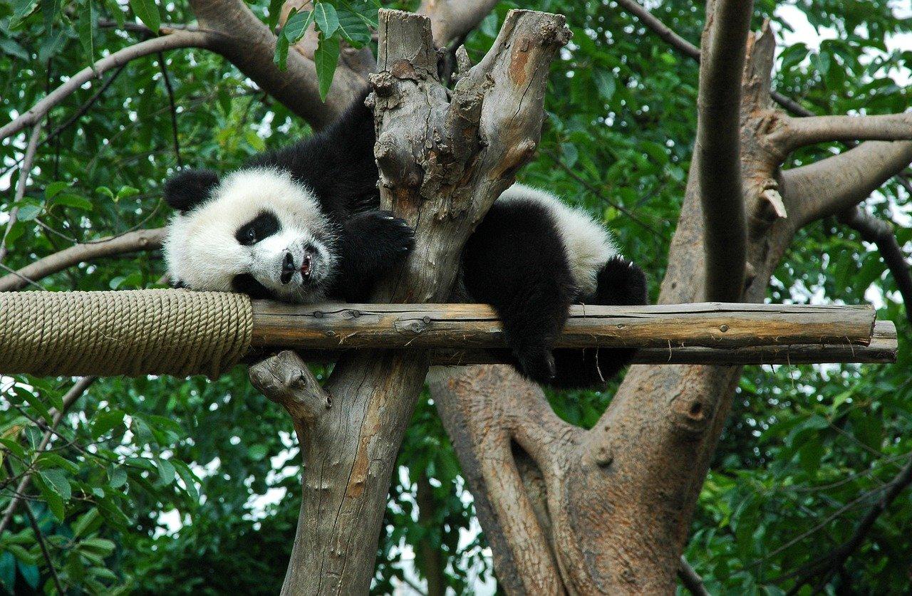 Großer Panda/ Bambusbär Steckbrief – Aussehen, Färbung, Lebensraum
